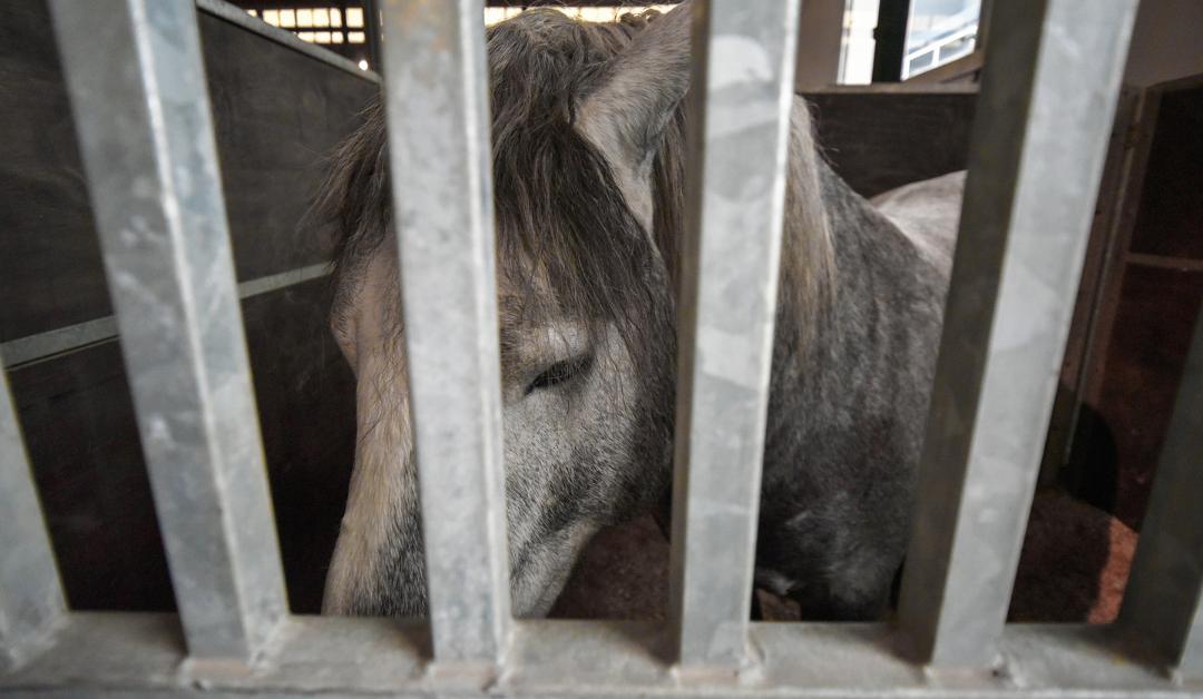 ¡Los caballos mantenidos en establos están estresados!